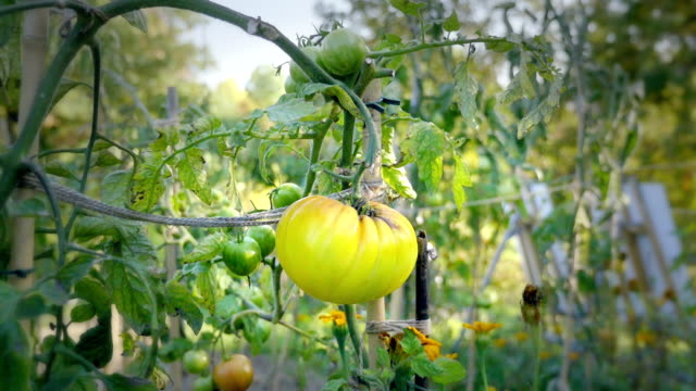 tomato flower bed at sunset. yellow tomatoes with support rods. - zucca legenaria video stock e b–roll