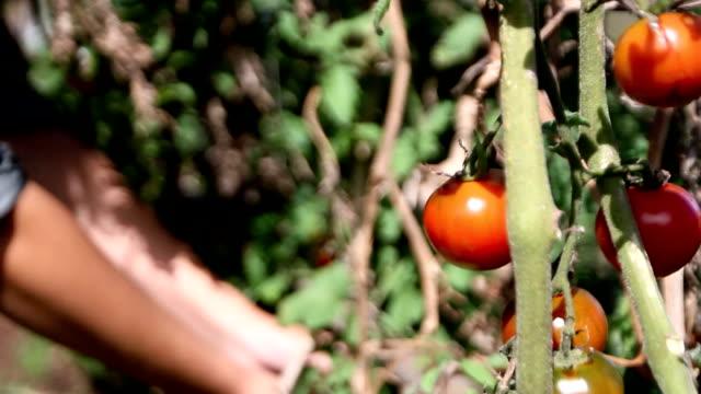 tomato harvest video