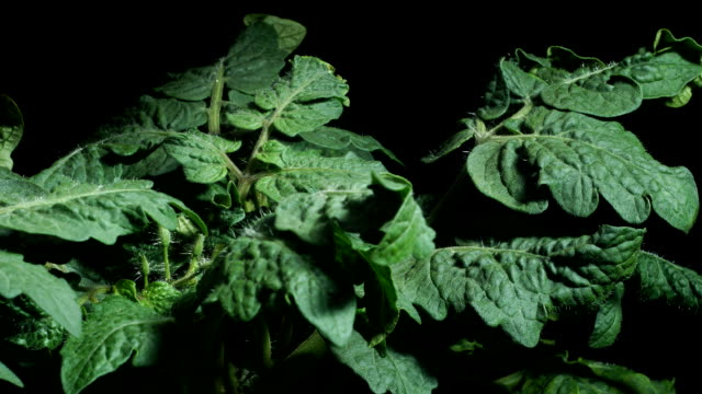 Tomato Leaves and Flowers video
