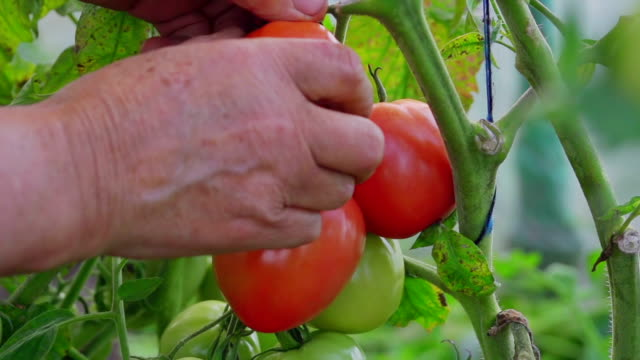 Tomato picking video