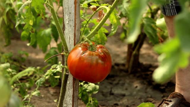 Tomaten. – Video