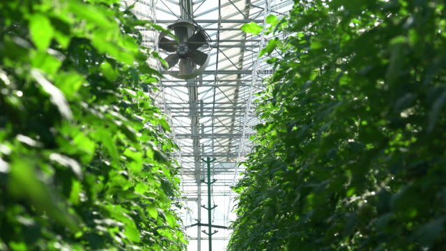 tomatoes are irrigated in a greenhouse video