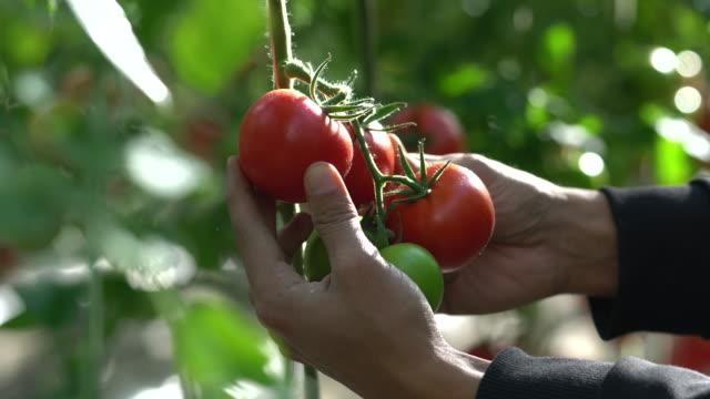 tomaten wachsenden in einem gewächshaus - pflücken stock-videos und b-roll-filmmaterial
