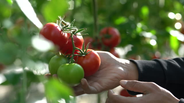 Tomatoes growing in a greenhouse video