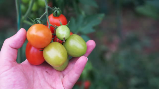 Tomatoes growing in a greenhouse Tomatoes growing in a greenhouse hydroponics stock videos & royalty-free footage