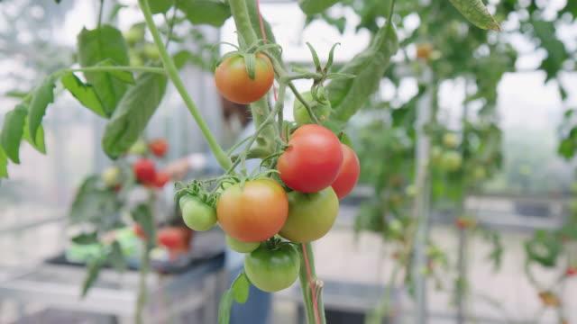 tomaten wachsen auf einer pflanze im gewächshaus - urban gardening stock-videos und b-roll-filmmaterial