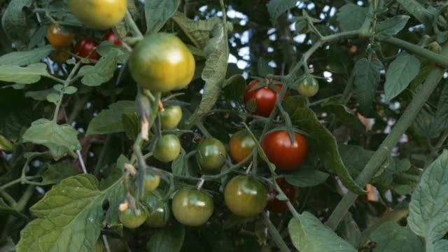 つる植物に育つトマト - 熟していない点の映像素材/bロール