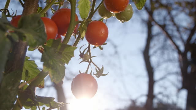 SLO MO Tomatoes In The Garden video