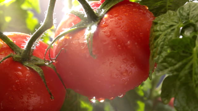 Tomatoes in the garden video