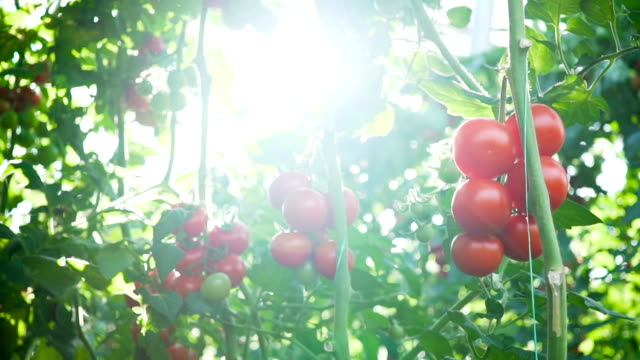 tomatoes on the vine - pomodoro video stock e b–roll
