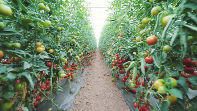 Tomatoes production in a greenhouse.