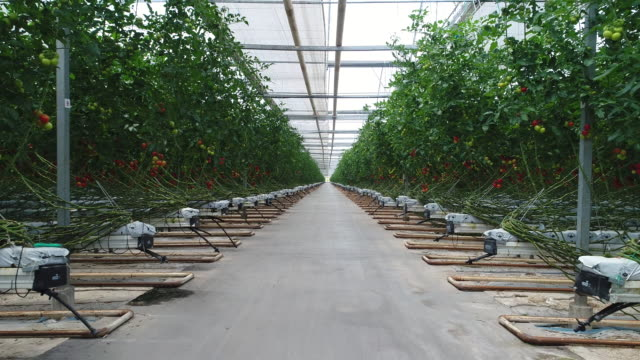 Tomatoes ripening in greenhouse Tomatoes ripening in greenhouse over sunset.Red mature cherry tomatoes,Hanging from the branch. cultivated land stock videos & royalty-free footage