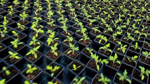 Bидео Tomatoes seedlings growing in greenhouse