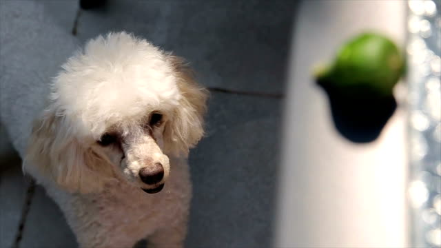 Too cute white poodle looking at fig video