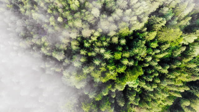 Top aerial view, flying over pine tree forest video