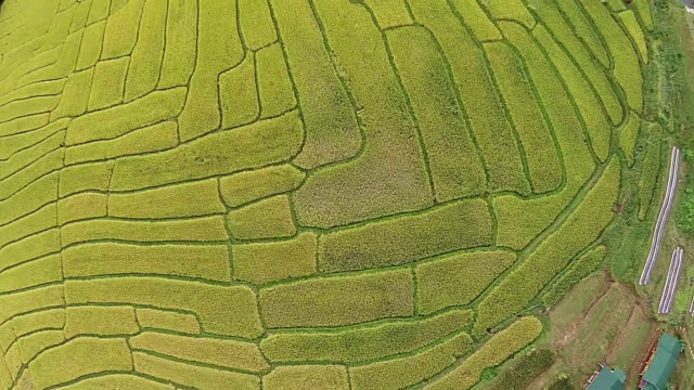 Top Aerial View  Rice Field video