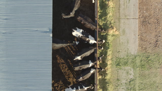 Top Down Drone Shot of Cows Feeding on Dairy Farm Drone shot of a small family dairy farm in Utah, USA, where cows are feeding from piles of hay. barns stock videos & royalty-free footage