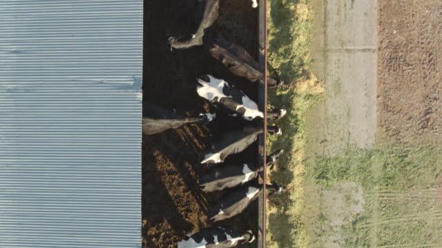 yukarıdan aşağıya uçağın shot ineklerin süt çiftlikte besleme - ahır stok videoları ve detay görüntü çekimi