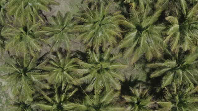 Top down drone shot of dense palm tree forest (2) (higher angle) video