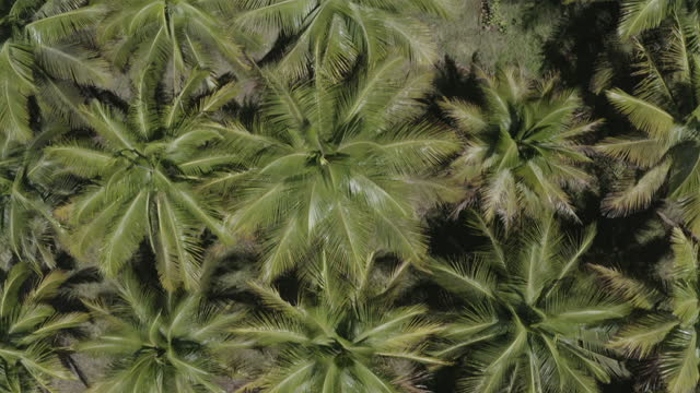 Top down drone shot of dense palm tree forest (1) video