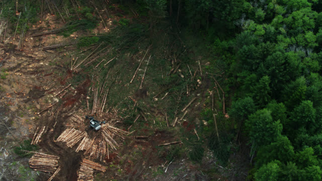 Top Down Drone Shot of Felled Trees in Logging Clear Cut