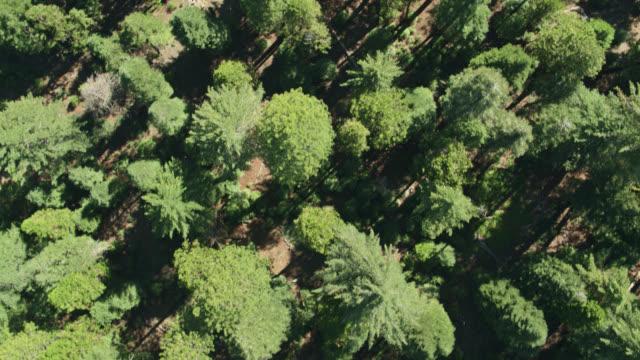 Top Down Drone Shot of Forest Near Mt Lassen, California
