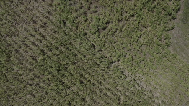 Top down drone shot of sugar cane drops swaying in the breeze video