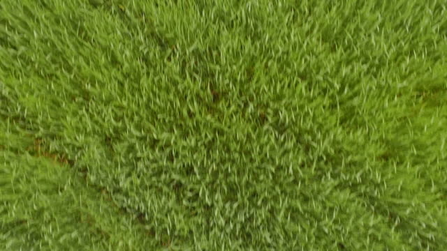 top-down-extrem niedrigen flug über grünes weizenfeld - niedrig stock-videos und b-roll-filmmaterial