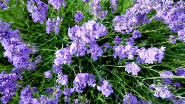 Top Down Lavender Slow Motion