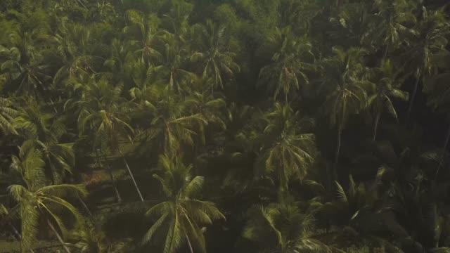 vídeos de stock e filmes b-roll de top down view of coconut farm and bamboo trees at summer day. - oleo palma