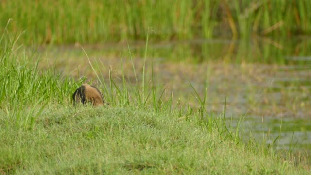 die obere hälfte des nördlichen tamandua-körpers zeigt, während es in der nähe des teiches forciert - ameisenbär stock-videos und b-roll-filmmaterial