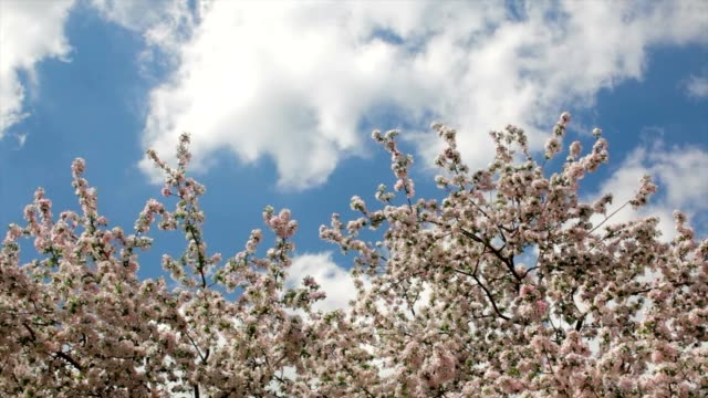 Top of apple tree with splendid pink blossoms on blue sky with fast moving clouds. video