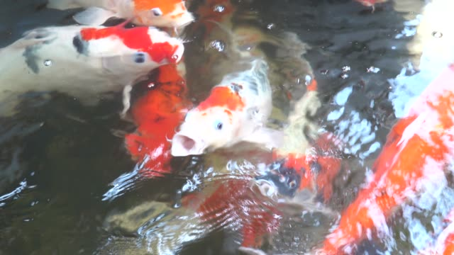 top view koi carp, colourful group of japanese fish carp are swimming - group of people стоковые видео и кадры b-roll