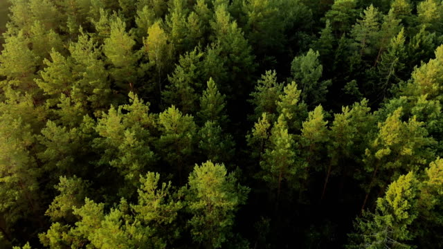 Top view of a mysterious mystical coniferous forest from a horror movie Cinematic shot top view of a mysterious mystical coniferous forest from a horror movie. The concept of anxious waiting, unexpected finding pine tree stock videos & royalty-free footage