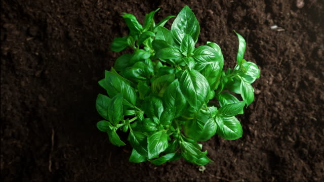 Top View of Basil Plant Growing out of the Fertile Soil Close up directly above shot of fast-growing basil. The plant covered with green leaves sprouts from the ground. Time lapse similar effect. Shot with High Speed Camera, Phantom Flex 4K at 1000fps. crop plant stock videos & royalty-free footage