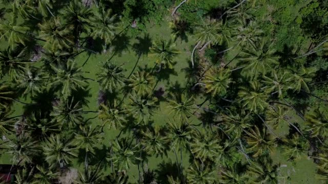 Top view of beautiful coconut trees pattern in tropical island
