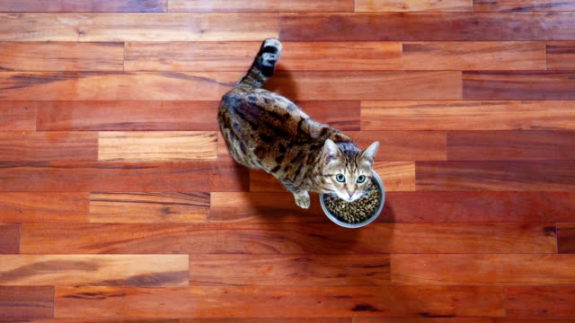 4k top view of bengal cat eating dry food from a bowl on the floor - gatto soriano video stock e b–roll