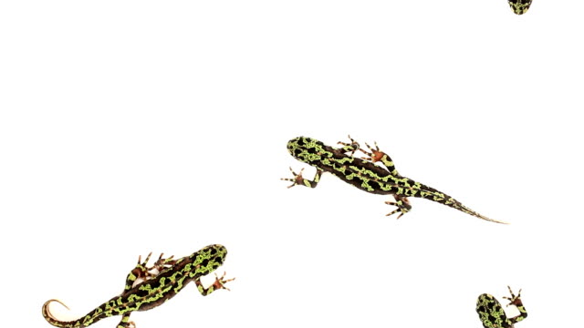 Top view of Marbled Newts (Triturus marmoratus) walking Top view of Marbled Newts (Triturus marmoratus) walking on a white background amphibian stock videos & royalty-free footage
