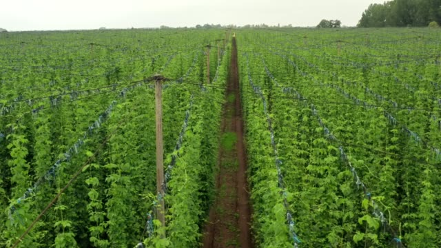 Top view of the Central European hop plantation