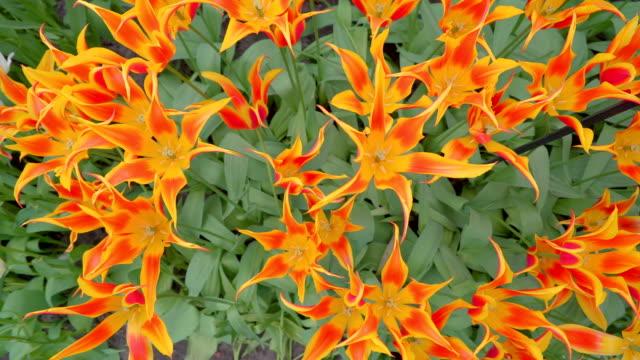 花のオレンジ色の花びらの平面図 - キューケンホフ公園点の映像素材/bロール