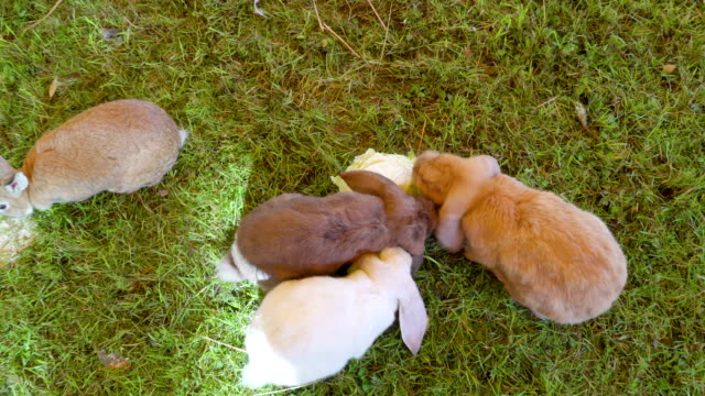 Top view of the three furry rabbits munching the cabbage Top view of the three furry rabbits munching the cabbage on the ground inside the pen coonhound stock videos & royalty-free footage