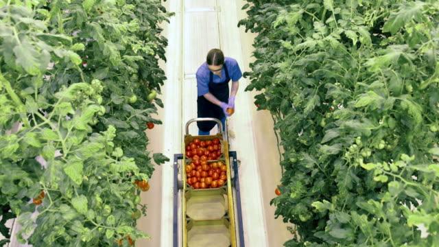 top view of tomatoes getting harvested in the greenhouse - zachowanie zwierzęcia filmów i materiałów b-roll