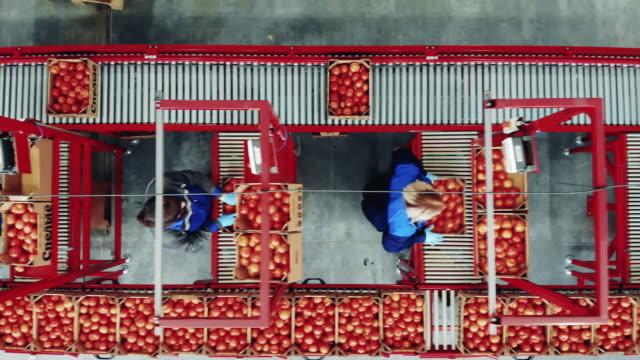 överstsikt över tomater sorteringsprocessen som utförs av kvinnliga arbetare på en fabrik packtransportör. - livsmedelstillverkningsfabrik bildbanksvideor och videomaterial från bakom kulisserna
