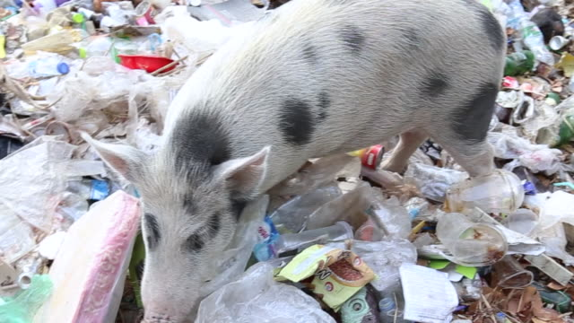 vídeos de stock e filmes b-roll de top view of  wild piglet in a forest full of garbage feeding on waste thrown at the mountain. animals eating throwing plastic waste. save the world. - desperdício alimentar
