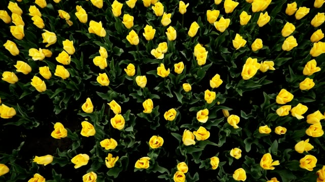 Top view of yellow tulips blooming at beautiful park, many flowers