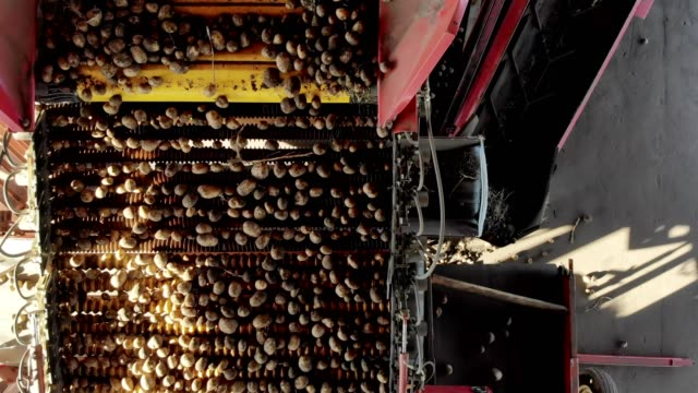 top view. special mechanized process of potato sorting at farm. potatoes are unloaded on conveyor belt, and workers are sorting potatoes manually. potatoes are put in wooden boxes for packaging - приготовленный картофель стоковые видео и кадры b-roll