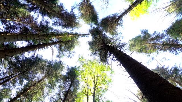 stockvideo's en b-roll-footage met tops en stammen van eeuwenoude bomen swing uit wind - ooglid