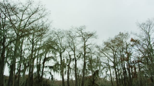 Tops of Cypress Trees Covered in Spanish Moss in the Atchafalaya River Basin Swamp in Southern Louisiana Under an Overcast Sky