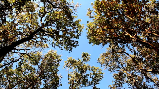 Tops of oaks swaying from the wind on blue sky video