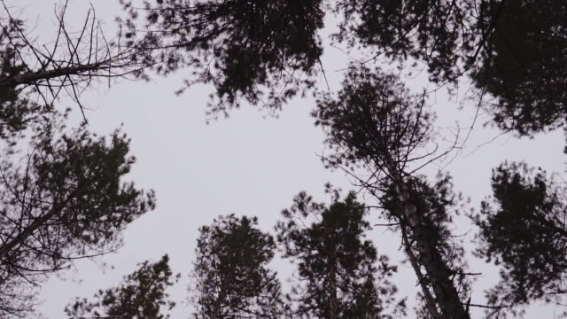 tops of trees in a forest against a cloudy sky. the crowns of trees sway in the wind video